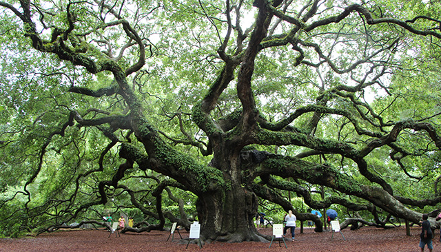 The Angel Oak Tree