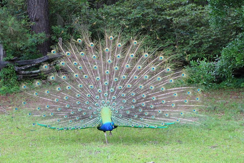Peacock at Middleton Place