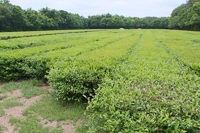Row up row of tea plants
